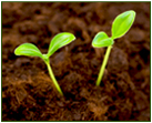 seedlings sprouting in soil